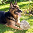 Stock Photo: GermShepherd dog in garden