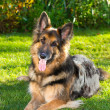 German Shepherd dog in the garden — Stock Photo