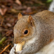 Squirrel eating nuts in the winter - Stock Photo