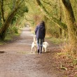 Female walking two labradoes along a country path — Stock Photo
