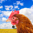 Rhode island red chicken in a corn field with a bright blue sky — Stock Photo