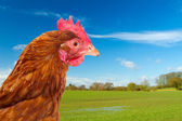 Rhode island red chicken in a green field with a bright blue sky — Stock Photo