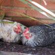 Hybrid hen having a dust bath on a warm day — Stock Photo
