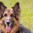 Stock Photo: Germshepherd dog looking straight ahed with tongue panting