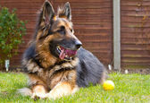 German shepherd dog laying in the garden with a ball in his mout — Stock Photo