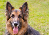 German shepherd dog looking straight ahed with tongue panting — Stock Photo