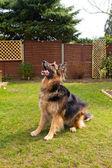 German shepherd dog sitting waiting for his ball to be thrown — Stock Photo