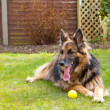 German shepherd dog laying in the garden with a ball at his feet — Stock Photo