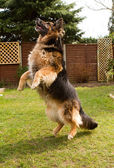 German shepherd dog performing a jump — Stock Photo