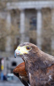Harrier hawk in the city — Zdjęcie stockowe