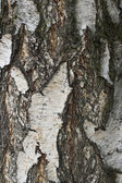 White tree bark texture — Stock Photo