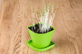 In green coriander plant Flowerpot — Stock Photo