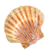 Clam — Stock Photo