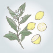 Vector illustration of lemon — Stock Vector
