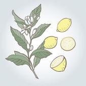 Vector illustration of lemon — Stock Vector