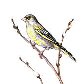 Watercolor songbird — Stock Photo