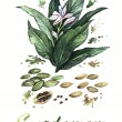 Foto Stock: Cardamom Watercolor