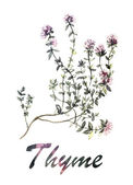 Thyme watercolor — Stock Photo