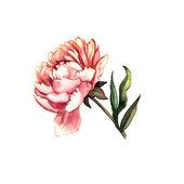 Watercolor peony — Stock Photo