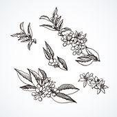 Graphic sketches branches Neroli. — Stock Vector