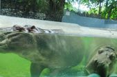 Hippopotamus in the water at Dusit zoo in Thailand — Stock Photo