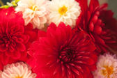 Close up photo of a red dahlia flower — Stock Photo