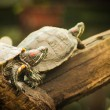 Pond terrapin on a white — Stock Photo