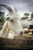 カメラを探して面白いヤギの肖像画 — ストック写真