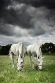 Two horses grazing in a field — Stock Photo