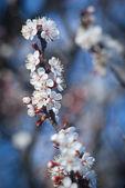 Blooming sakura — Stock Photo