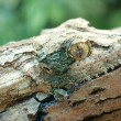 Giant leaf-tail gecko, marozevo, — Stock Photo #26058995