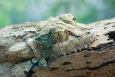 Giant leaf-tail gecko, marozevo, — Stock Photo
