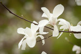 Blossoming of magnolia flowers — Stock Photo