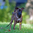 Animal - Dog - young mixed breed — Zdjęcie stockowe #12874314