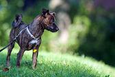 Animal - Dog - young mixed breed — Stock Photo