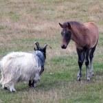 Постер, плакат: Iceland Southern Iceland Iceland horses grazing Icelandic foal