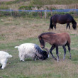 Постер, плакат: Iceland Southern Iceland Iceland horses and goats in the pasture