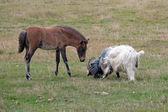 Iceland - Southern Iceland - Iceland horses grazing - Icelandic foal — Stock Photo