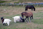 Iceland - Southern Iceland - Iceland horses and goats in the pasture — Stock Photo