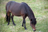 Iceland - Southern Iceland - Iceland horses grazing — Stock Photo