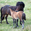 chevaux d'Islande Islande - sud de l'Islande - pâturage — Photo
