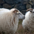 Iceland - Sheep drive at Lake Myvatn — Stock Photo