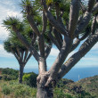 La Palma 2013 - Dragon Tree — Foto Stock