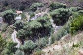 La Palma 2013 - Dragon Tree — Stock Photo