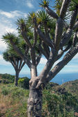 La Palma 2013 - Dragon Tree — Stock Photo
