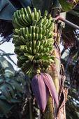 La palma 2013 - banán strom — Stock fotografie