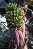 La palma 2013 年-香蕉树 — 图库照片