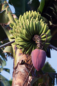 La Palma 2013 - Banana tree — Stock Photo