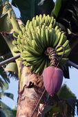 La palma 2013 - drzewo bananowe — Zdjęcie stockowe