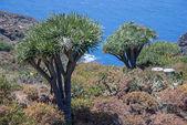 La palma 2013 年-龙树 — 图库照片